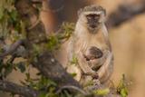 Vervet Monkey and Infant, Okavango Delta, Botswana Photographic Print by Art Wolfe
