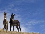 Wild Burros, Cimarron, New Mexico, USA Photographic Print by Maresa Pryor