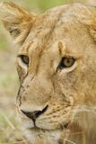 Lioness Up Close, Maasai Mara Wildlife Reserve, Kenya Fotografie-Druck von Jagdeep Rajput