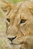 Lioness Up Close, Maasai Mara Wildlife Reserve, Kenya Photographic Print by Jagdeep Rajput