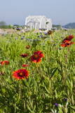 Firewheel (Gaillardia Pulchella) by the Llano River, Texas, USA Photographic Print by Larry Ditto