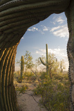 Saguaro Forest Saguaro National Park, Arizona, USA Photographic Print by Jamie & Judy Wild