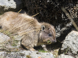 Rock Hyrax, Mount Kenya National Park, Kenya Photographic Print by Martin Zwick