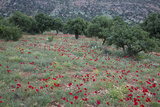 Red Poppies in Orchard Central Turkey on Drive to Cappadocia, Turkey Photographic Print by Darrell Gulin