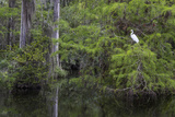 Great Egret in Everglades National Park, Florida, USA Photographic Print by Chuck Haney