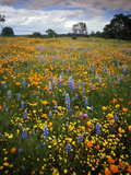 Wildflowers, Avenales Wildlife Area, Shell Creek Road, California, USA Photographic Print by Charles Gurche