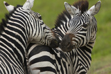 Plains Zebras, Ngorongoro Conservation Area, Tanzania Photographic Print by Art Wolfe