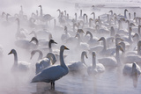 Whooper Swans, Hokkaido, Japan Photographic Print by Art Wolfe