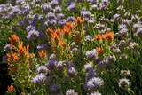 Meadow Wildflowers (Monardella Odoratissima), Albion Basin, Utah, USA Photographic Print by Charles Gurche