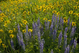 Meadow Wildflowers, Little Cottonwood Canyon, Albion Basin, Utah, USA Photographic Print by Charles Gurche