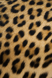 Leopard, Okavango Delta, Botswana Photographic Print by Art Wolfe