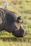 Hippopotamus Grazing, Amboseli National Park, Kenya Photographic Print by Martin Zwick
