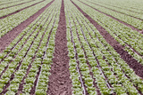 Neat Rows of Organic Lettuce on Farm, Soledad, California, USA Photographic Print by  Jaynes Gallery