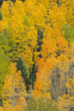 Quaking Aspens in a Fall Glow, Bald Mountain, New Mexico, USA Photographic Print by Maresa Pryor