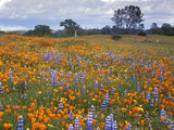 Wildflowers, Avenales Wildlife Area, Santa Margarita, California, USA Photographic Print by Charles Gurche