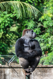 Cross River Gorilla at Limbe Wildlife Center, Limbe, Cameroon Photographic Print by Alida Latham