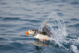 Atlantic Puffin Takes Flight, Spitsbergen, Svalbard, Norway Photographic Print by Steve Kazlowski