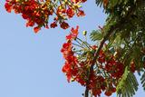 Close-Up of African Flame Tree, Stone Town, Zanzibar, Tanzania Photographic Print by Alida Latham