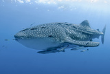 Close-Up of Whale Shark and Remora, Cenderawasih Bay, Papua, Indonesia Reproduction photographique par  Jaynes Gallery