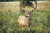Grazing Mule Deer Buck, Waterton Lakes NP, Canada Photographic Print by Peter Skinner