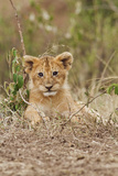 Lion Cub, Maasai Mara Wildlife Reserve, Kenya Photographic Print by Jagdeep Rajput