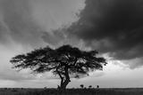 Acacia Tree, Serengeti National Park, Tanzania Fotografie-Druck von Art Wolfe