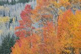 Aspen Trees in Autumn Colors, San Juan Mountains, Colorado, USA Photographic Print by  Jaynes Gallery