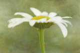 Daisy Flower with a Textured Background, California, USA Photographic Print by  Jaynes Gallery
