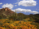 Blooming Mexican Poppies and Lupine, Organ Pipe Nm, Arizona, USA Photographic Print by  Jaynes Gallery