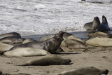 Northern Elephant Seal Colony, San Simeon State Park, California, USA Photographic Print by Cindy Miller Hopkins