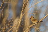 Adult Female Eastern Northern Cardinal in Defiance, Ohio, USA Photographic Print by Chuck Haney