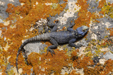 Blue Rock Lizard, Cappadocia, Turkey Photographic Print by Matt Freedman