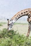 Maasai Giraffe, Maasai Mara Game Reserve, Kenya Photographic Print by Martin Zwick