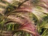 Foxtail Barley, Banff NP, Alberta, Canada Fotografisk tryk af Stuart Westmorland