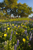 Wildflowers and Live Oak in Texas Hill Country, Texas, USA Reproduction photographique par Larry Ditto