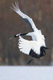Japanese Crane, Hokkaido, Japan Fotografie-Druck von Art Wolfe