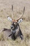 Defassa Waterbuck, Maasai Mara, Kenya Photographic Print by Martin Zwick