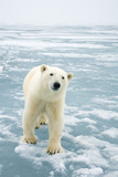 Polar Bear in Search of Seals, Spitsbergen, Svalbard, Norway Photographic Print by Steve Kazlowski