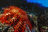 Crown-Of-Thorns Starfish at Daedalus Reef, Red Sea, Egypt Photographic Print by Ali Kabas
