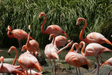 San Diego Zoo, Flamingo, California, USA Photographic Print by Peter Bennett