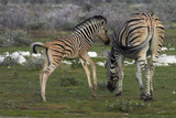 Burchell's Zebra Foal and Mother, Etosha National Park, Namibia Photographic Print by David Wall