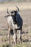 Eastern White-Bearded Wildebeest, Amboseli National Park, Kenya Photographic Print by Martin Zwick