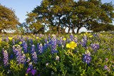 Wildflowers and Live Oak in Texas Hill Country, Texas, USA Photographic Print by Larry Ditto