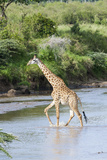 Maasai Giraffe, Maasai Mara Game Reserve, Kenya Fotografie-Druck von Martin Zwick