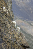Mountain Goats, Kongakut River, ANWR, Alaska, USA Photographic Print by Tom Norring
