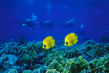 Yellow Butterflyfish with Scuba Divers in Background, Red Sea, Egypt Photographic Print by Ali Kabas
