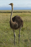 Ostrich, Etosha National Park, Namibia Photographic Print by David Wall