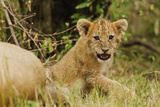 Lion Cubs in the Bush, Maasai Mara Wildlife Reserve, Kenya Photographic Print by Jagdeep Rajput