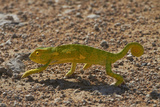 Chameleon, Etosha National Park, Namibia Photographic Print by David Wall