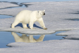 Polar Bear Reflected in Pool as it Walks across Ice, Svalbard, Norway Photographic Print by  Jaynes Gallery